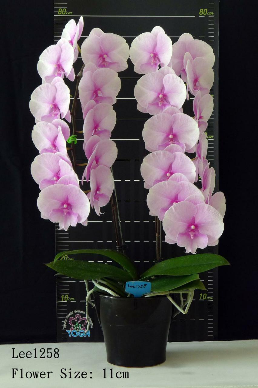 """Орхидея, горшок 2.5"""" без цветов. Сорт Lee1258"""