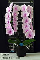 """Орхидея, горшок 2.5"""" без цветов. Сорт Lee1258, фото 1"""