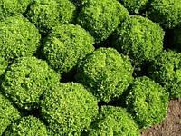 Салат полуголовчатый Левистр (Levistro RZ), 5000 семян, дражже