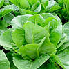 Ромен салат Викторинус (Victorinus RZ),1000 семян, дрожже