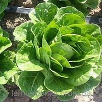 Ромен салат Крунчита (Crunchita RZ), 5000семян, дрожже