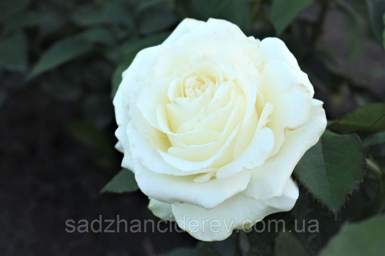 Саджанці троянд Вайт Шоколад (White Chocolate, Білий шоколад)