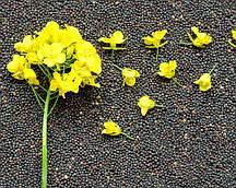 Семена Рапса 1кг (мешок ~45кг)