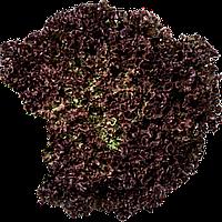 Салат полуголовчатый Уилбур (Wilbur RZ), 5000 семян, дражже
