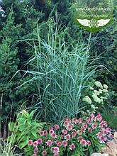 Panicum virgatum 'Prairie Sky', Просо прутовидне 'Прері Скай',C2 - горщик 2л