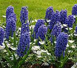 Гиацинт  Blue Jacket (Синий Жакет) 14/15, фото 3