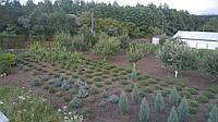 Сосна обыкновенная(растения любого размера с комом)