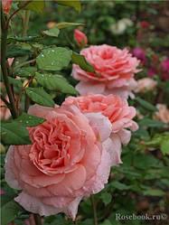 """Саджанці троянди """" Френсіс Блейз """""""