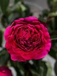 """Саджанці троянди """"Капабилити"""""""