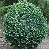 Самшит вечнозеленый, контейнер Р9