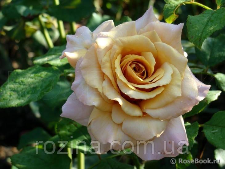 """Саджанці троянди """"Меджик Момент"""""""