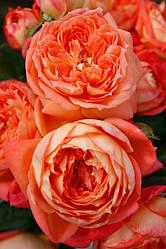 """Саджанці троянди """"Квін оф Хартс"""""""