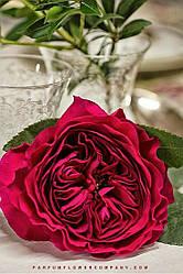 """Саджанці троянди """"Дарсі"""""""