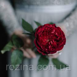 """Саджанці троянди """"Тесс"""""""