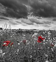 Фотошпалери флізелінові 3D Квіти 225х250 см Маки на чорно-білому тлі (MS-3-0091) Найкраща якість