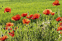 Фотошпалери флізелінові 3D Квіти 375х250 см Маки на зеленому полі (MS-5-0092) Найкраща якість