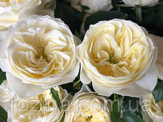 """Саджанці троянди """"Вайт Вувузела"""""""