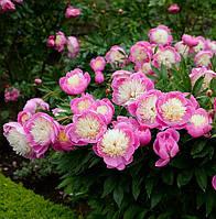 Пион  'Bowl of Beauty  -  Шар Красоты., фото 1