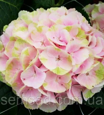 Гортензія крупнолистна Меджікал Блоссом \ Hydrangea Magical Blossom (саджанці)
