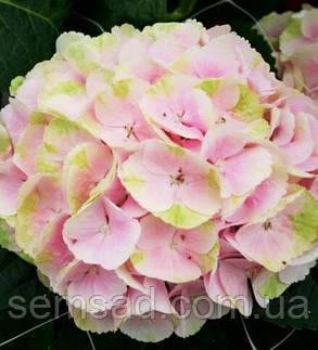 Гортензія крупнолистна Меджікал Блоссом \ Hydrangea Magical Blossom (саджанці), фото 2