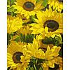 Набор картина по номерам Солнечные цветы 40х50см, акриловые краски, кисти, холст