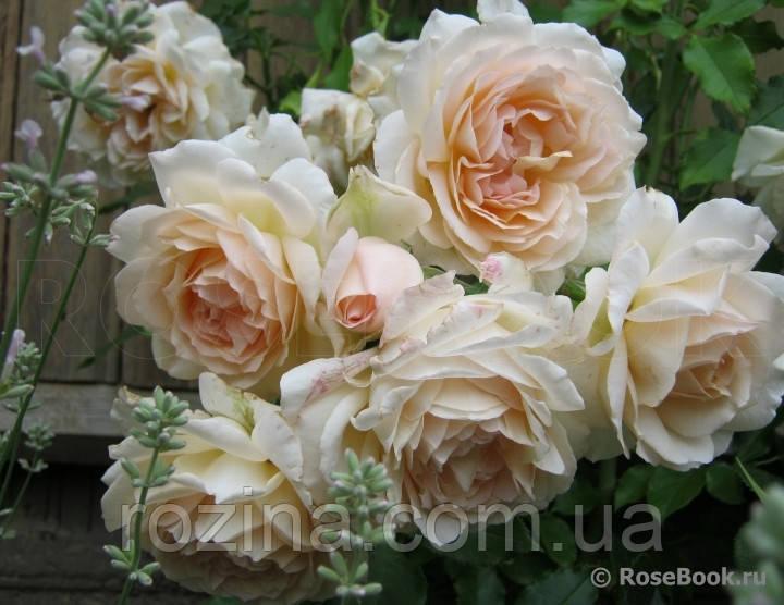 """Саджанці троянди """"Чандос Б'юті"""""""