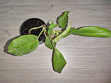 Филодендрон  Голди Лок (Лимон Лайм) 20 см