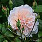 """Саджанці троянди """"Троянд де Толбиак"""", фото 2"""