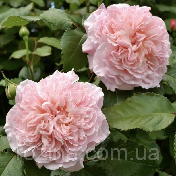 """Саджанці троянди """"Троянд де Толбиак"""""""