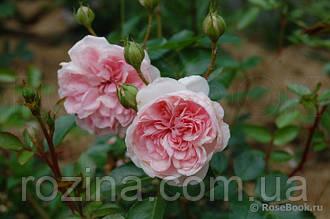 """Саджанці троянди """"Зе Фаун"""""""