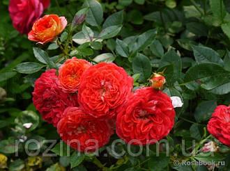 "Саджанці троянди ""Старлет-Роз Кармен"""