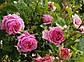 """Саженцы розы """"Бенвенью"""", фото 5"""