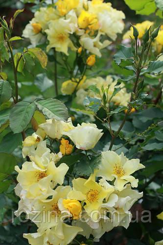 Саженцы розы Али Дорате