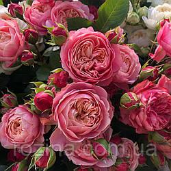 """Саджанці троянди """"Викториан Класик"""""""