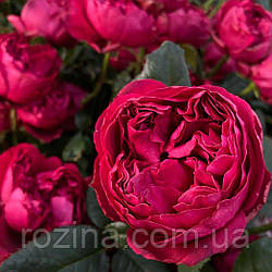 """Саджанці троянди """"Распберри Елеганс"""""""