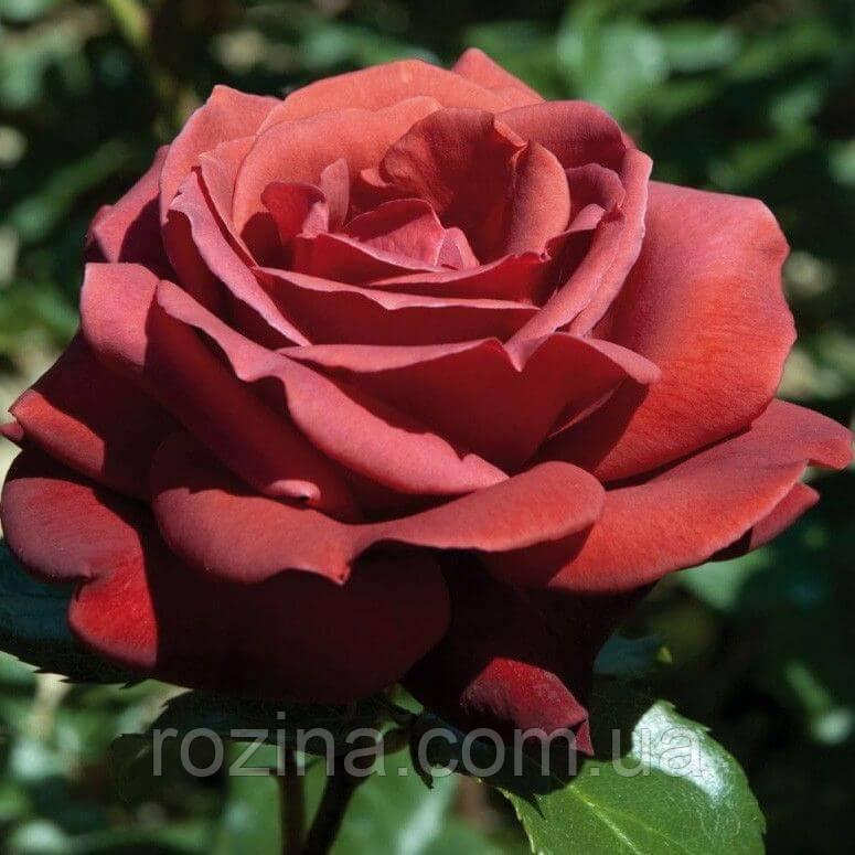 """Саджанці троянди """"Теракота"""""""