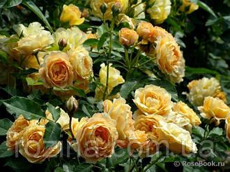 """Саджанці троянди """"Дольче Віта"""""""