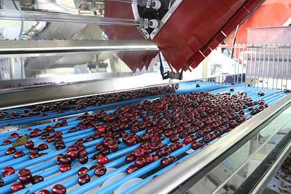 Виробництво сушених ягід черешні
