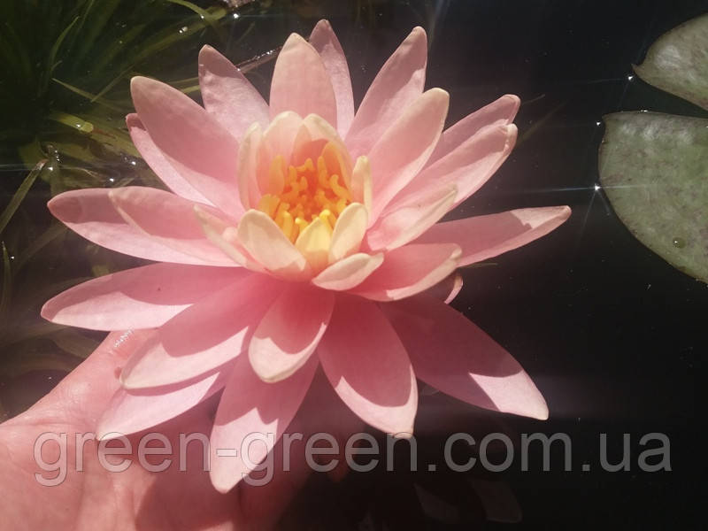 Кувшинка Shiny Pink