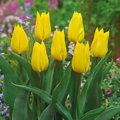 Луковицы тюльпанов Yokohama, 3 луковицы