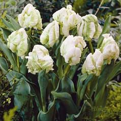 Луковицы тюльпанов Super Parrot, 3 луковицы