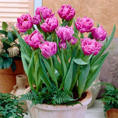 Луковицы тюльпанов Грейга Double Price, 3 луковицы
