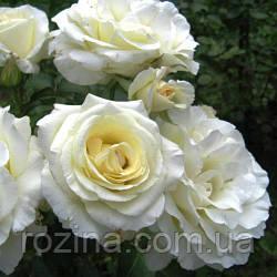 """Саджанці троянди """"Шнеевальцер"""""""