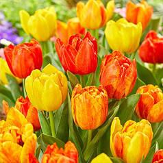 Луковицы тюльпанов Flaming Baby, 3 луковицы