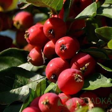 Райская яблоня Дук Пинсу