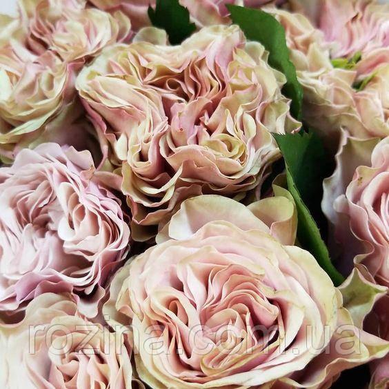 """Саженцы розы """"Бурбон Стриит"""""""