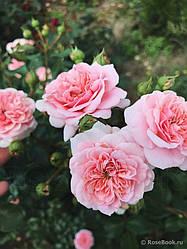 """Саджанці троянди """"Пірует"""""""