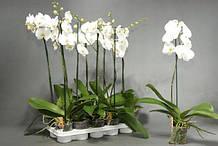 Фаленопсис,отцветшие и цветущие ,подростки,