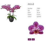 Подростки орхидеи. Сорт AMIRA  горшок 1.7 без цветов Германия.