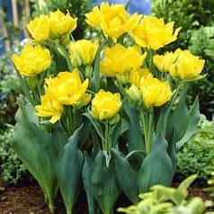 Луковицы тюльпанов Monte Carlo, 3 луковицы